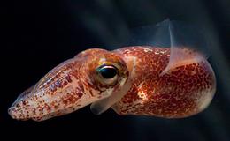 squid wikipedia
