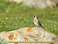 European Goldfinch (Carduelis carduelis) (35652354361).jpg