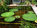 Euryale ferox plant.JPG