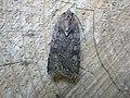 Euxoa nigricans (2941061298).jpg