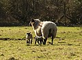 Ewe and lambs, Herebere - geograph.org.uk - 1137834.jpg