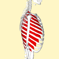 External intercostal muscles lateral2.png