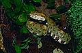 Eyelash Viper (Bothriechis schlegelii) female (captive specimen) (14641091857).jpg
