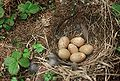 Falcipennis falcipennis-Nest and Clutch.jpg