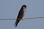 Falco amurensis -Mongolia-8.jpg