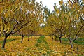 Fall Leaves - panoramio.jpg