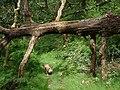 Fallen tree along woodland path - geograph.org.uk - 1412852.jpg