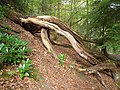 Fallen tree at Allen Banks - geograph.org.uk - 1535690.jpg
