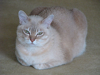 Female Burmilla cat