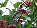 Female Purple Sunbird Drinking Nectar 02.jpg