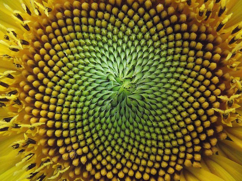 A Fibonacci Spiral in nature. In this case, within sunflower seeds.