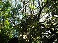 Ficus cestrifolia (figueira-de-folhas-finas) ao fundo, e no primeiro plano exemplar imaturo de Schefflera morototoni (caixeta). - panoramio.jpg