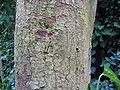 Ficus religiosa1.jpg