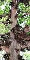 Ficus sycomorus - Stamm & Früchte.jpg