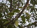 Ficus tsjahela (5592340331).jpg