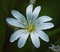 Field chickweed (48024267396).jpg