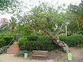 Figuera del parc de les Aigües P1500831.jpg