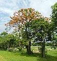 Fire Tree beside University Avenue, U.P. Diliman, Quezon City (2).jpg