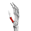 First metacarpal bone (left hand) 04 ulnar view.png