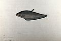 Fish 'Pahali', no. 17 Wellcome V0023474.jpg