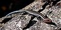Five-lined Skink (Plestiodon fasciatus) Liberty Co. Texas. photo W. L. Farr.jpg