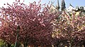 Flèche de Notre-Dame de Paris au-dessus des cerisiers du Japon.jpg