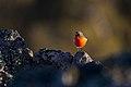 Flame Robin (26069450994).jpg