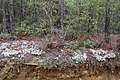 Flat Tub Wildlife Management Area Rocky Hammock Ldg Rd reindeer moss b.jpg