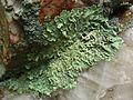 Flavoparmelia caperata - Flickr - pellaea (7).jpg