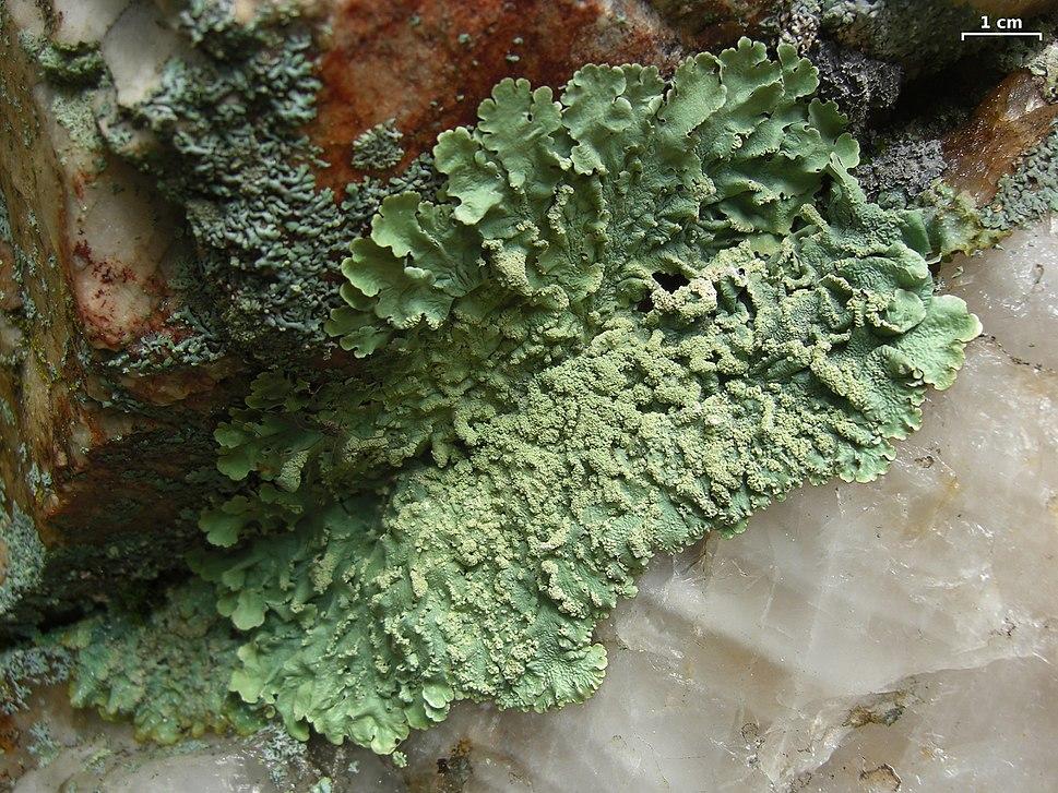Flavoparmelia caperata - Flickr - pellaea (7)