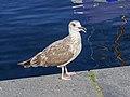 Flensburg 2015-08 img14 Herring gull at the bay.jpg