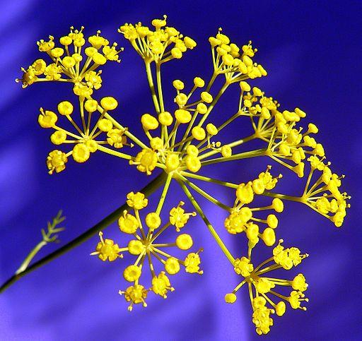 fleurs en corymbe de l'aneth