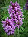 Fleur en Vanoise (8).JPG