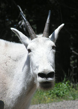 Mountain goat - Close-up of head