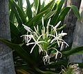 Flickr - brewbooks - Crinum amabile - Spider Lily (1).jpg