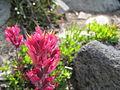 Flickr - brewbooks - Magenta Castilleja parviflora var. oreopola. - Spray Park.jpg