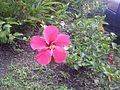 Flor de Cayena mas grande de lo común.jpg