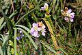 Flor na Serra da Canastra (3498).jpg