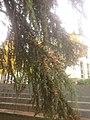 Floracion Cedrus 9-11-18 (2).jpg