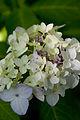 "Flower, Hydrangea ""Maiko"" - Flickr - nekonomania (1).jpg"