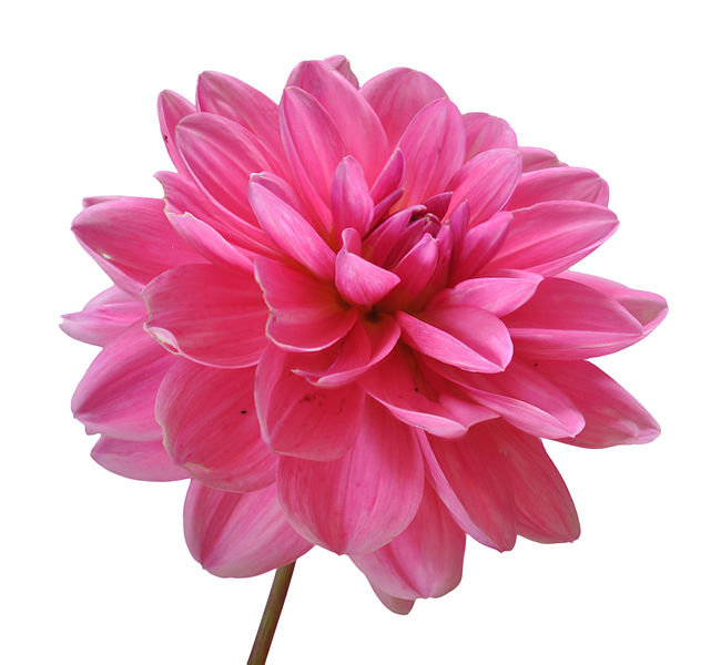 File:Flower on white Background.jpg