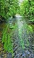 Flutender Wasserhahnenfuß (Ranunculus fluitans) an der Würm.jpg
