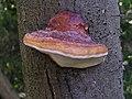 Fomitopsis pinicola 2004-09-01.jpg