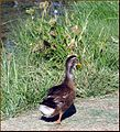 Ford Park, Duck, Redlands, CA 7-12 (7747340970).jpg