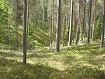 Forest at Leivonmäki NP.JPG
