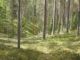 Scandinavian and Russian taiga - Forest of Pinus sylvestris with an understory of Calluna vulgaris in Leivonmäki National Park, Finland.