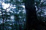 Forest in Yakushima 38.jpg