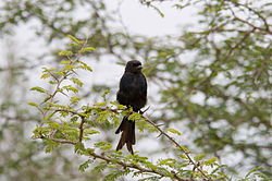 Fork-tailed Drongo 2246413587.jpg