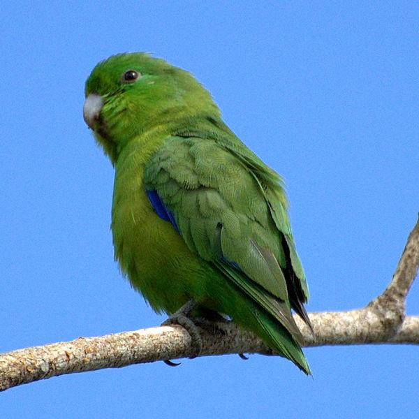 Ficheiro:Forpus xanthopterygius -Brazil-6-4c.jpg