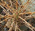 Fouquieria columnaris 01 ies.jpg